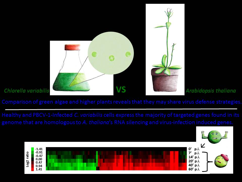 We examined the presence and expression of potential virus defense genes in Chlorella variabilis under normal and virus (PBCV-1) infected conditions (T = 0, 7, 14, 20, 40, and 60 min. post infection (p.i.)). 145/156 genes related to higher plant RNA silencing and 180/219 genes related to those induced by virus infection in Arabidopsis thaliana were expressed under these conditions.
