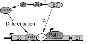 E7 has two activities that affect the HPV16 late promoter. 1. E7 promotes cell division by degrading pRb family proteins. Cell proliferation then interferes with cellular differentiation signals that are needed to activate differentiation-specific transcription factors (TF-X). 2. E7 activates late transcription through activation of a specific transcription factor or coregulator (TF-Y), or through other effects on the transcription machinery.