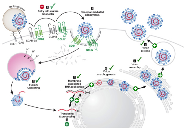 Recapitulation of the entire HCV life-cycle in murine cells. Mouse cell inefficiently support the HCV life cycle. The expression of human CD81 and occludin (OCLN) can overcome the block in entry. HCV RNA translation is supported and HCV RNA replication is more efficient when antiviral innate immune responses are blunted and the liver specific microRNA 122 is expressed at sufficient quantities. In presence of mouse or human apolipoprotein E HCV virons are assembled and released. CD, cluster of differentiation; CLDN1, claudin 1; GAG, glycosaminoglycan; HCV, hepatitis C virus, LDLR, low density lipoprotein receptor. (Figure adapted from Ploss and Rice (2009) EMBO Reports)