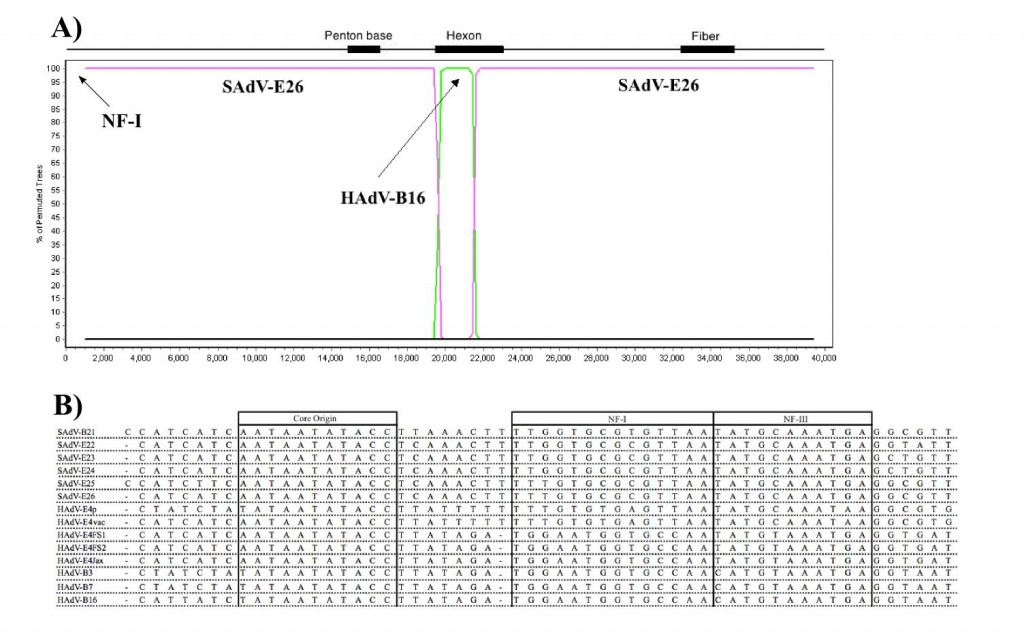 Genomic analysis of human adenovirus type 4 (HAdV-E4FS1). A) The genome sequence of HAdV-E4FS1 contains a recombination event revealed with the Bootscan option of Simplot. SAdV-E26 is a simian (chimpanzee) adenovirus (SAdV) and HAdV-B16 is a human adenovirus. For reference, three viral shell protein coding regions are noted along the top, with the percent identity of the sequences along the y-axis and the genome nucleotide positions along the x-axis. The recombinant hexon, comprising a majority of the shell, is found in four HAdV-E4 genomes sequenced. These four viruses were isolated from patients with acute respiratory disease, spanning fifty-two years, i.e., 1952 ('p' for prototype), 1962 ('vac' for vaccine strain), 2003 ('FS1' for field strain 1) and 2004 ('FS2'). This interspecies recombination, reported here for the first time, between two HAdV species (B and E) may have enabled a successful zoonosis. B) The 5'-end 'Inverted Terminal Repeat' contains conserved DNA replication motifs (core, NF-I and NF-III), as shown for six SAdVs, five HAdV-E4s and three HAdV-Bs; the latter eight cause acute respiratory disease in humans. The 'B' and 'E' notations denote the species group of HAdV. Host-supplied human transcription factor NF-I is required for optimal adenoviral replication, and is recombined into recent HAdV-E4 genomes. 'Jax' is a HAdV-E4 strain isolated in 1978 (partially sequenced). It is thought the mid-1970s represents a transition point, with this second recombination event expediting the molecular adaptation of a former chimpanzee virus to a human host, with HAdV-E4 now causing epidemics in both military and civilian populations world-wide.