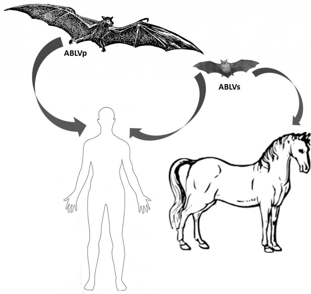 Australian bat lyssavirus (ABLV) is an emerging zoonotic virus that can cause a neurological disease in bats, humans and horses indistinguishable from clinical rabies.  Two genetically distinct variants of ABLV exist, one which circulates in flying fox fruit bats (genus Pteropus; ABLVp) and the other in insectivorous microbats (genus Saccolaimus; ABLVs).  Both variants have spilled over into humans with fatal consequences; and the Saccolaimus variant recently spilled over into horses which were later euthanized due to advanced disease.  The host cell tropism results presented in this study suggest that additional terrestrial mammalian species may be susceptible to ABLV infection.