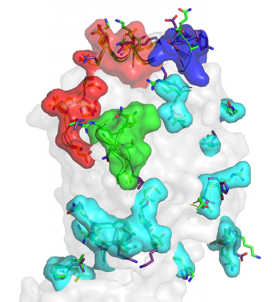 Surface presentation of the globular domain of B/Yamanashi/98 HA highlighting the four major epitopes (120-loop region in cyan, 150-loop in green, 160-loop in blue and 190-helix region in red).  Main-chain traces are shown for residues with large changes among different HA structures while side-chain atoms are shown for amino-acid substitutions in B/Brisbane/08 HA (purple), B/Yamanashi/98 HA (green) relative to B/HK/73 HA (yellow).
