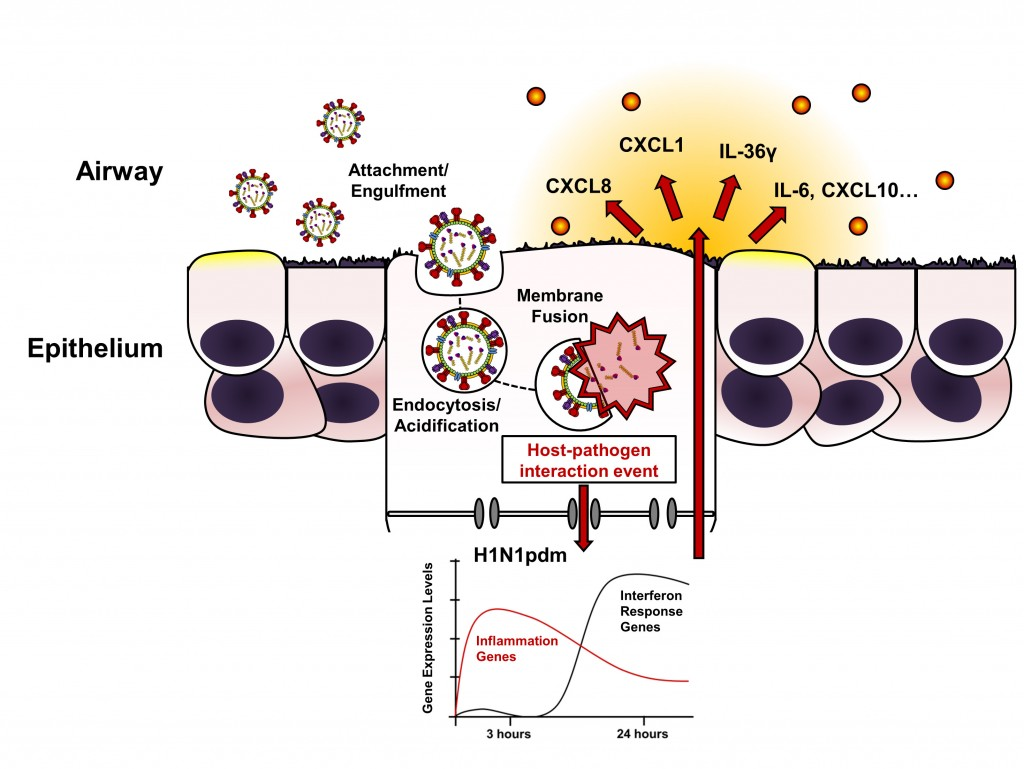 Model of early epithelial response to H1N1pdm infection. Direct epithelial interaction with the H1N1pdm virus at a stage of entry following membrane fusion leads to a rapid increases in inflammatory signal production. Epithelial responses detected during H1N1pdm infection in vitro are summarized in the panel at the bottom right; approximated gene expression profiles for inflammation (red) and interferon response (black) gene clusters are shown. In the large conducting airways of the lung, epithelial responses to H1N1pdm entry may result in local inflammatory cytokine secretion and increased lung inflammation.