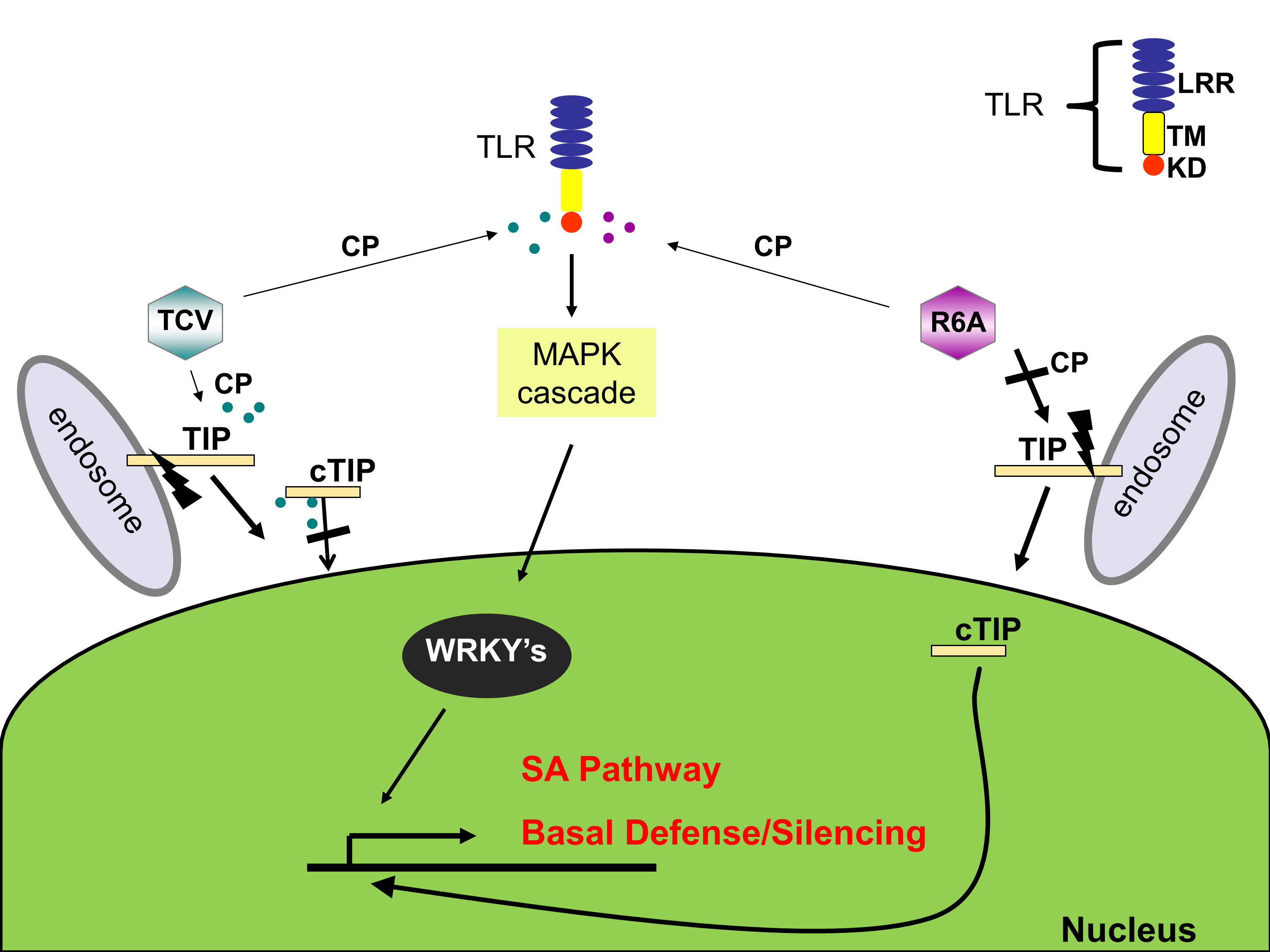Model of the TIP-TCV CP interaction during TCV infection in the susceptible host Col-0. We propose that TCV CP is recognized by an uncharacterized toll-like receptor (TLR) that provokes SA defense signaling with a leucine rich repeat (LRR) domain for protein-protein interaction and a transmembrane domain (TM). The TLR kinase domain (KD) signaling leads to a MAPK cascade and enhanced basal defense. Infection by wildtype TCV results in the interaction of the CP with TIP that alters the rate of migration into the nucleus leading to the basal defense genes not being induced. Infection by the TCV mutant, R6A, is unable to repress the basal defense response because it can't interact with TIP. This difference in basal defense regulation in the susceptible host gives a selective advantage to TCV early in infection.