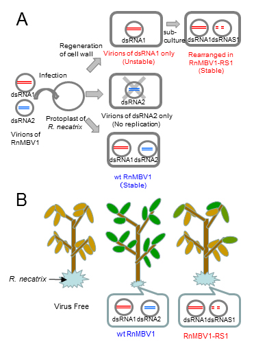 A) Schematic diagram of the generation process of RnMBV1-RS1 from wild type RnMBV1. B) Virulence of virus free R. necatrix strains, strains after infection with wild type RnMBV1, and strains after RnMBV1-RS1 infection on apple roots.
