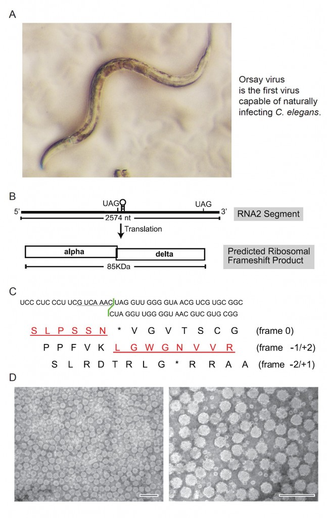 A. Orsay virus is the only virus capable of naturally infecting C. elegans.  B. Schema of Orsay protein expression strategy defined in this study. C.  A peptide spanning the ribosomal framshifting site was detected by Mass spectrometry. D. Electron microscopy of highly purified Orsay virions.
