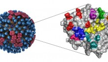 Structure of influenza A virus (left) showing the two major surface glycoproteins, neuraminidase (red) and hemagglutinin (blue). Zoomed-in 3D structure view (right) showing the location of the potential NA antigenic sites of human H1N1 viruses isolated between 1934 and 2007. A total of 20 amino acids in the seven loops denoted in different colors are depicted on the upper NA globular head in this carton model. The amino acid residues in the enzyme active site are highlighted in yellow. Illustration created by Dan Higgins and Feng Liu