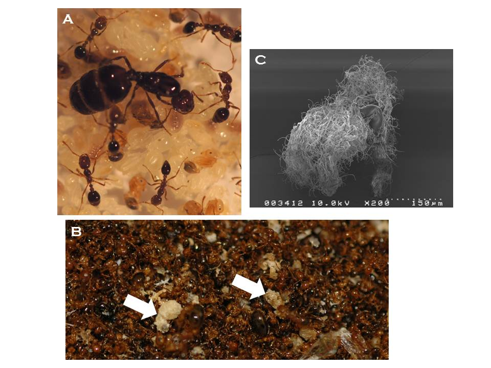 (A) Photograph of a fire ant (Solenopsis invicta) queen surrounded by workers and immature stages (larvae and pupae). (B) Photograph of a midden pile in a SINV-3-infected colony composed of thousands of dead worker and larval ants.  Note the immature stages (arrows).  Fire ant colonies remove dead or dying colony members from the nest area, which accumulate with time.  (C) Electron micrograph of brood collected from SINV-3-infected midden piles.