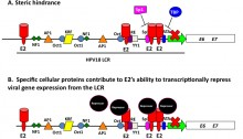 Two mechanistic models for E2-mediated transcription of the HPV E6 and E7 oncogenes. (A) E2 binding to the promoter region blocks the binding of required transcriptional factors. (B) E2 recruits chromatin repressor factors to the promoter region thus creating a transcriptionally repressive signature.