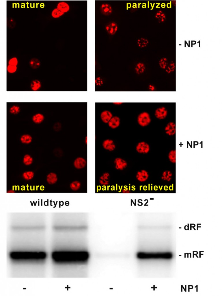 Top: maturation of MVM wildtype replication foci is relatively unaffected by NP1 expression.  However, the paralysis seen at an early stage of development of these foci in NS2-null mutant virus is reversed by NP1 expression. Bottom: NP1 expression marginally increases the amplification of monomer and dimer replicative form viral DNA duplexes (mRF & dRF), but substantially rescues synthesis of these viral DNA species.